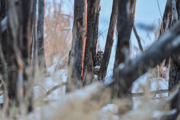 1-11-16 Short-eared Owls Part 1