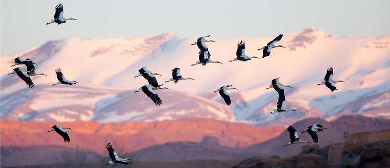 Storks in Flight.jpg