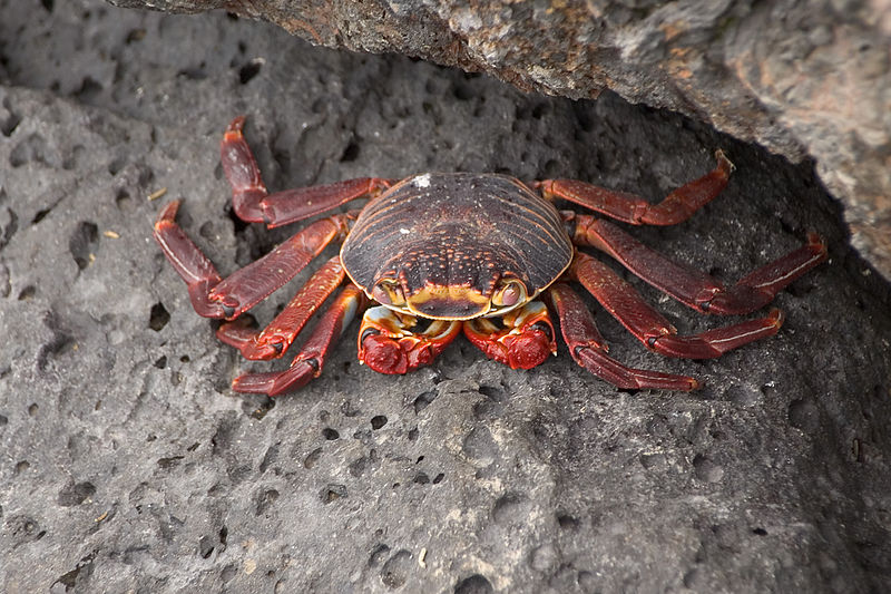 Red crab on rocks at Puerto Villamil