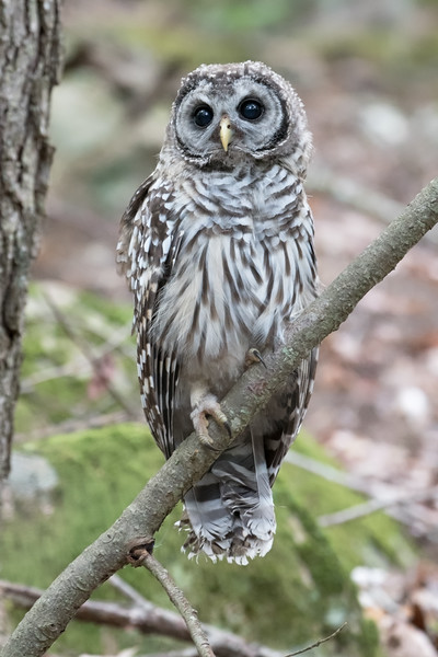 #764 Barred Owlet