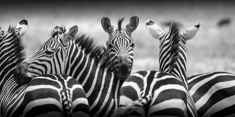 zebras 4584 bw.jpg