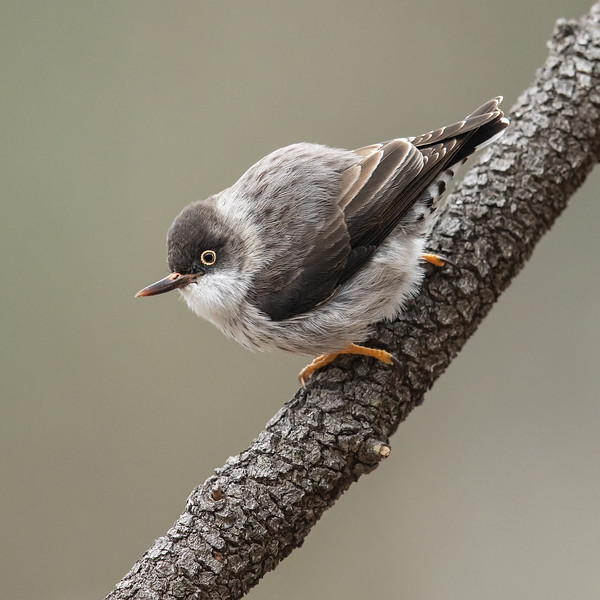 Varied Sittella (Orange-winged)