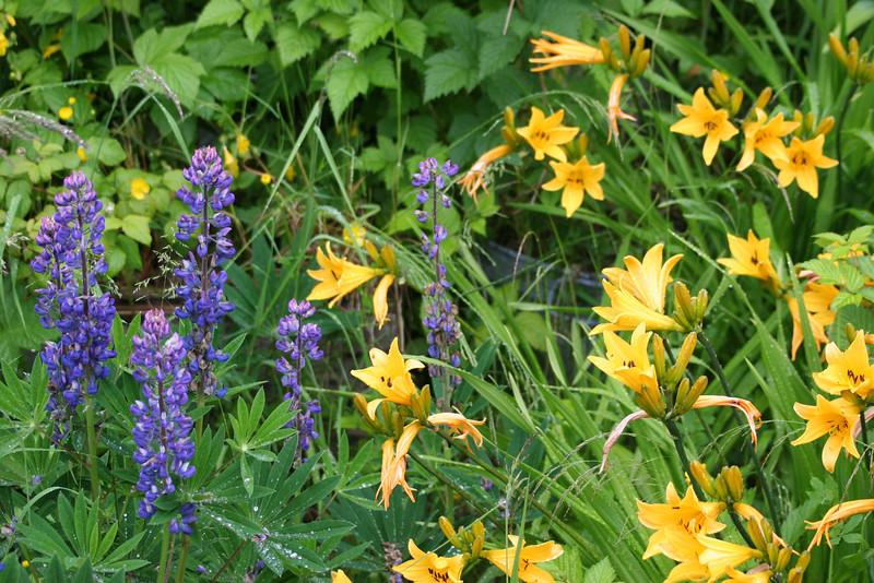 lupine & daylilies