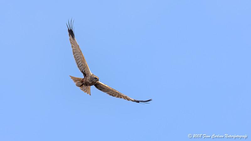 Rørhøg (Circus aeruginosus - Marsh Harrier)