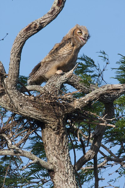 Great Horned Owl nestling in a Mesquite. His sibling fledged the day before [April; Sick Dog Ranch near Alice, Texas]