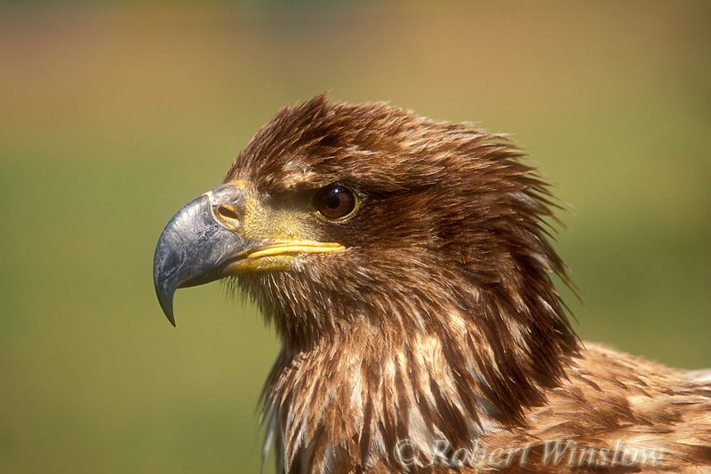Immature, Bald Eagle (Haliaeetus leucocephalus), Controlled Conditions
