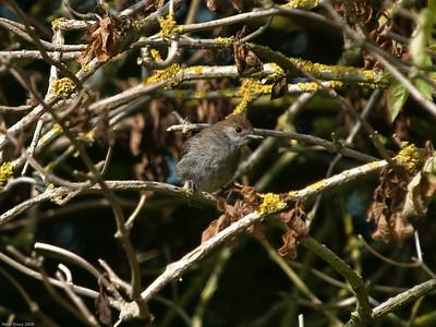 Blackcap (Sylvia atricapilla)