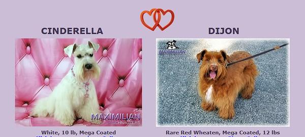 Cinderella & Dijon Puppies, DOB 5/08/2021