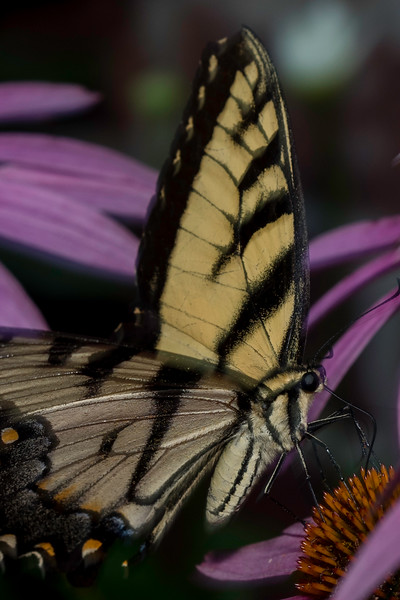 2019 07 Coneflowers & Swallowtails