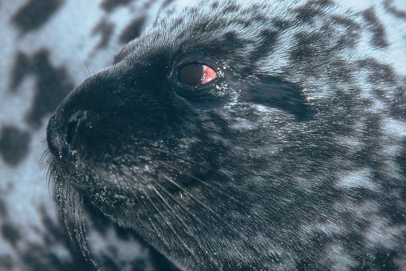 Phoque gris (?)