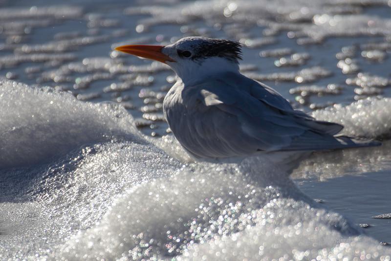 Royal Tern in Foam