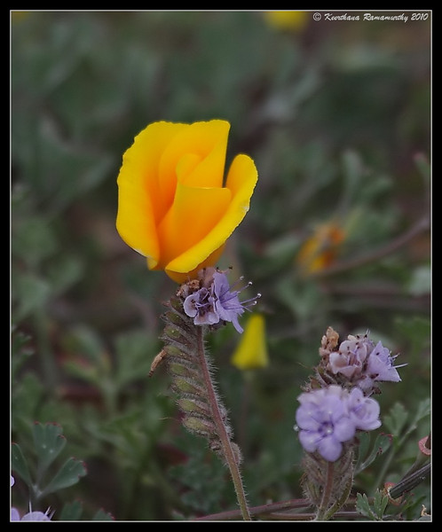 California Poppy & Thick-leaf Yerba Santa(purple flower), Torrey Pines State Reserve, San Diego County, California, April 2010