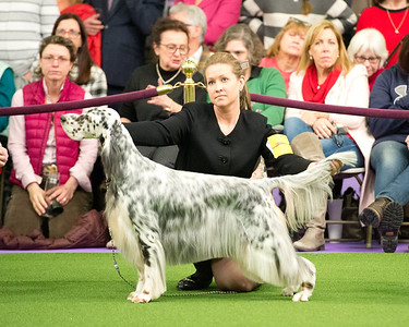 Misc. English Setters