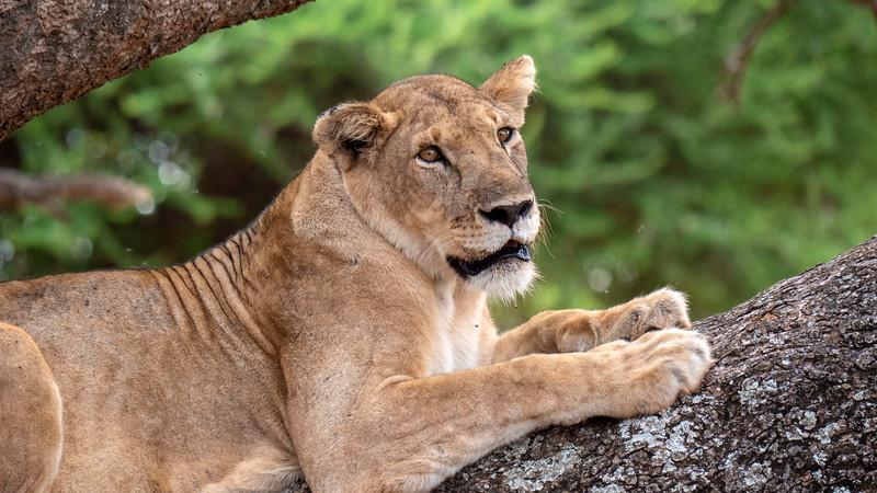 Tanzania-Tarangire-National-Park-Safari-Lion-06.jpg