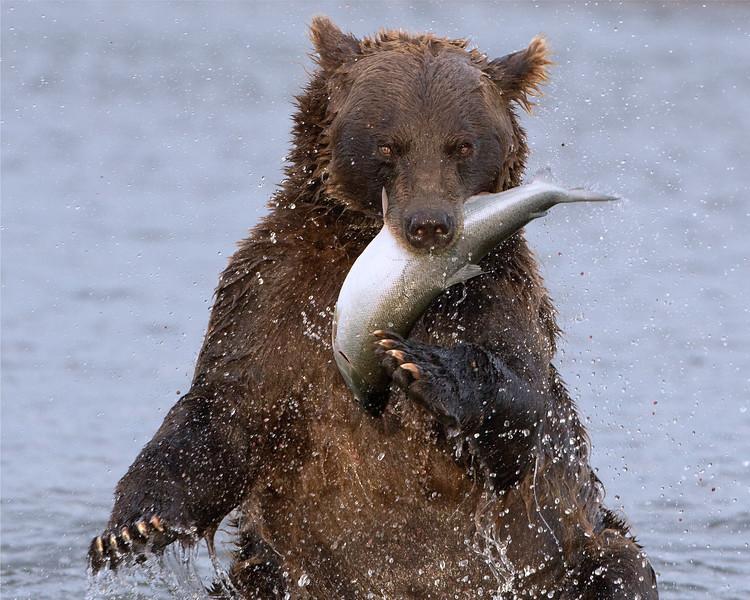 Bear and Salmon-Edit copy.jpg