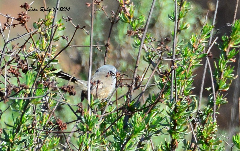 Crappy shot of a California Gnatcatcher, but better than nothing - 1/2/2015 - Lake Hodges, southeast trail (south of footbridge)