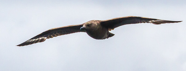 Brown (Subantarctic) Skua