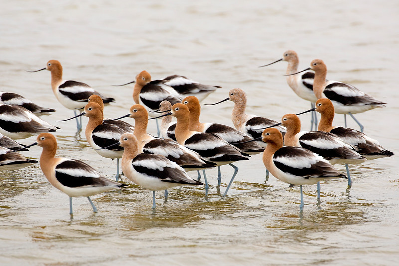 Another unexpected flock:  American Avocets.