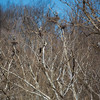 Great blue heron nesting community