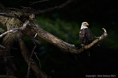 Bald Eagle Domain