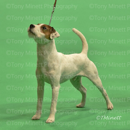Parson  Russell Terriers Crufts 2018