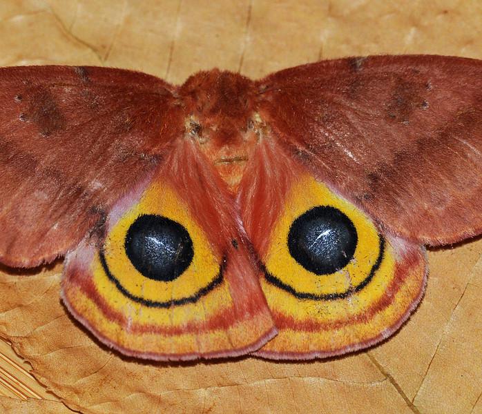 Automeris i0 (Io Moth)