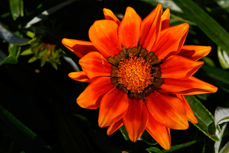 Treasure flower (Gazania rigens)
