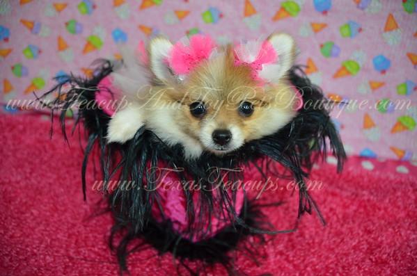 Female Pomeranian Puppy # 3002