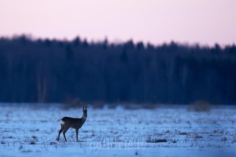 Roe deer in winter on snow covered field