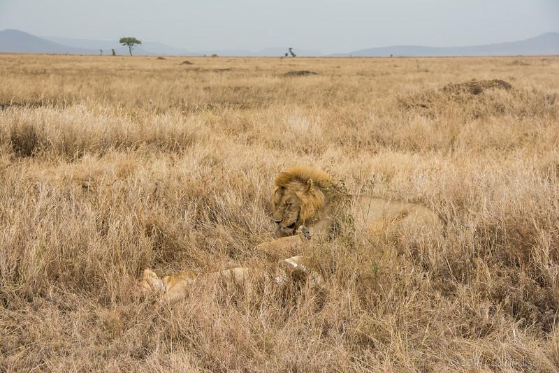 Tanzania Lion male female in grass-0202.jpg