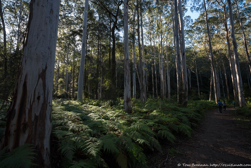 Some of the best Blue Gums in the creek are just downstream from the turnoff
