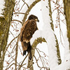 Juvenile Bald Eagle Near Pella, Iowa