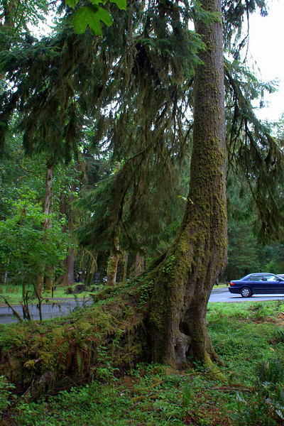 Dinosaur Tree: Rain Forest, Olympic Peninsula, Washington