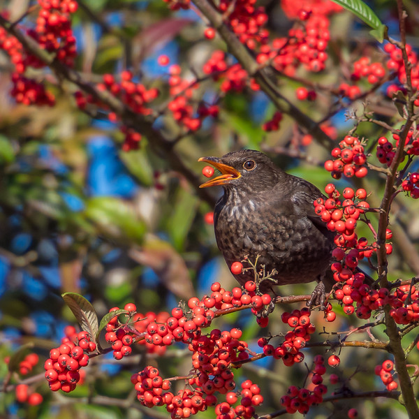 The Blackbird and the Berry