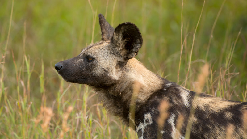 African wild dog, Lycaon pictus, Kruger NP, South Africa