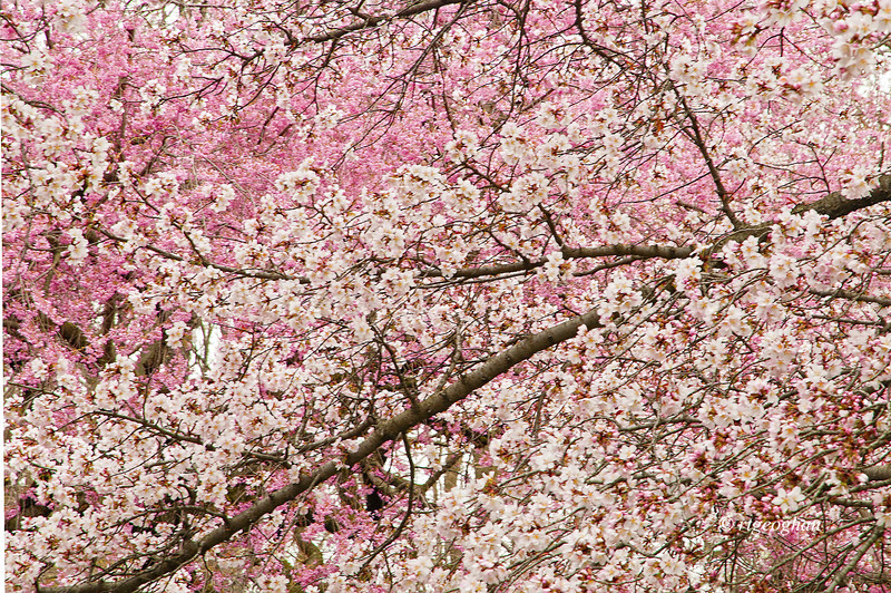 April 13_BranchBrookCherryBlossomsDetail_7853.jpg