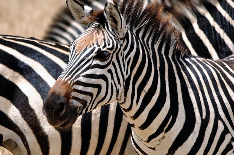 young zebra.jpg
