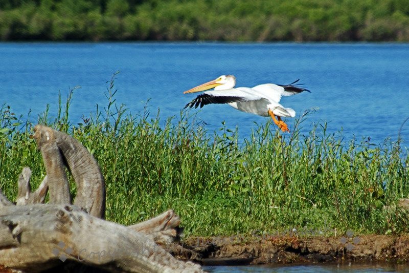 White Pelican ~ This White Pelican was phtographed at Cherry Creek State Park in Colorado.