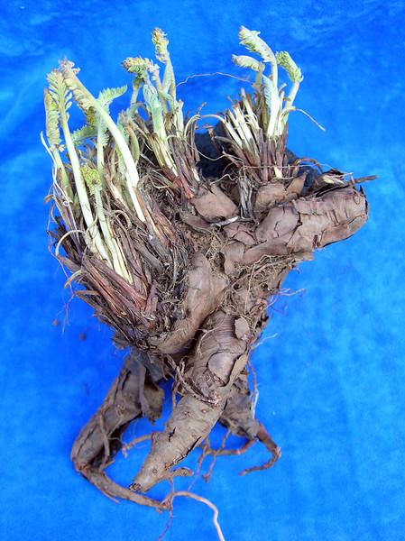 Pelargonium rapaceum tuber