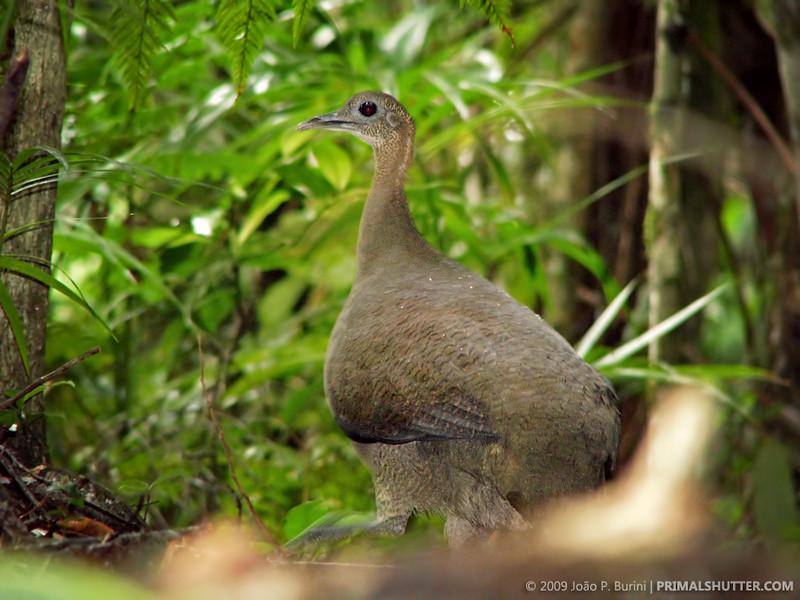 Tinamus solitarius (solitary tinamou)