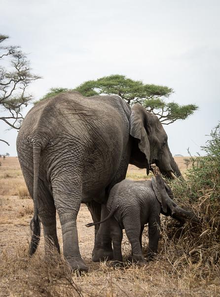 Tanzania elephant young-0289.jpg