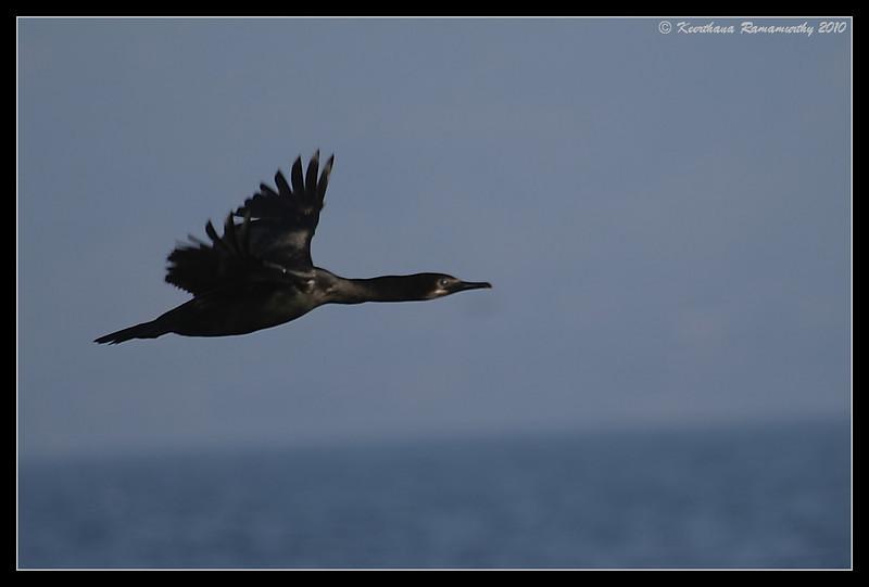 Brandt's Cormorant, Oceanside Pelagic Trip, San Diego County, California, January 2010
