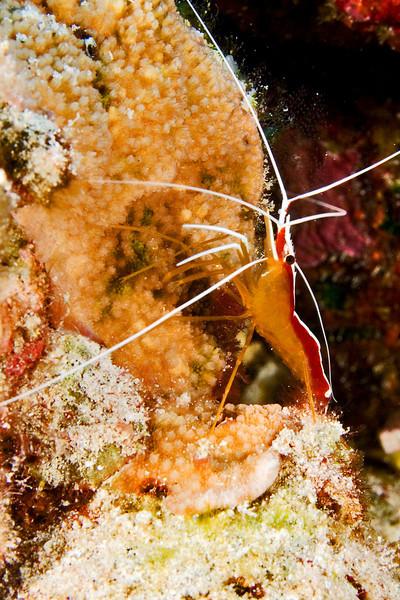 Golden Cleaner Shrimp.jpg