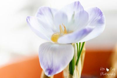 21.04.17 blog post - Crocus Flower Garden Macro Photoshoot, Photography UK