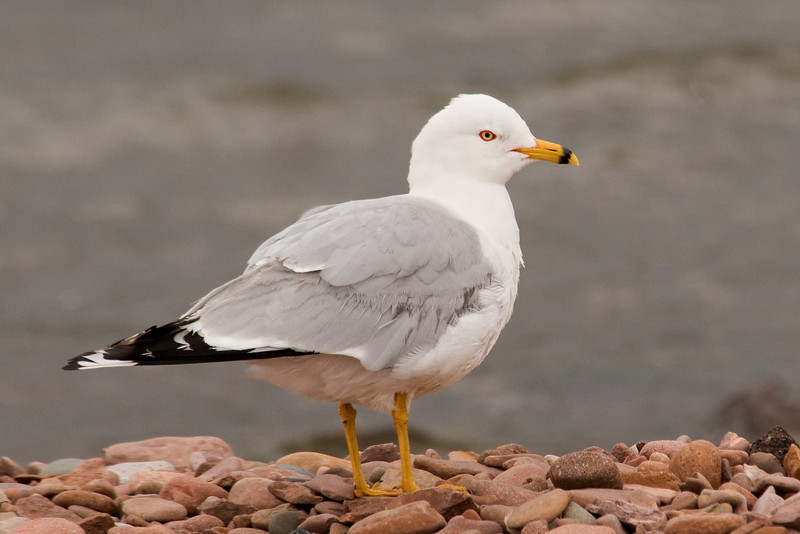 Gull - Ring-billed - Grand Marais, MN