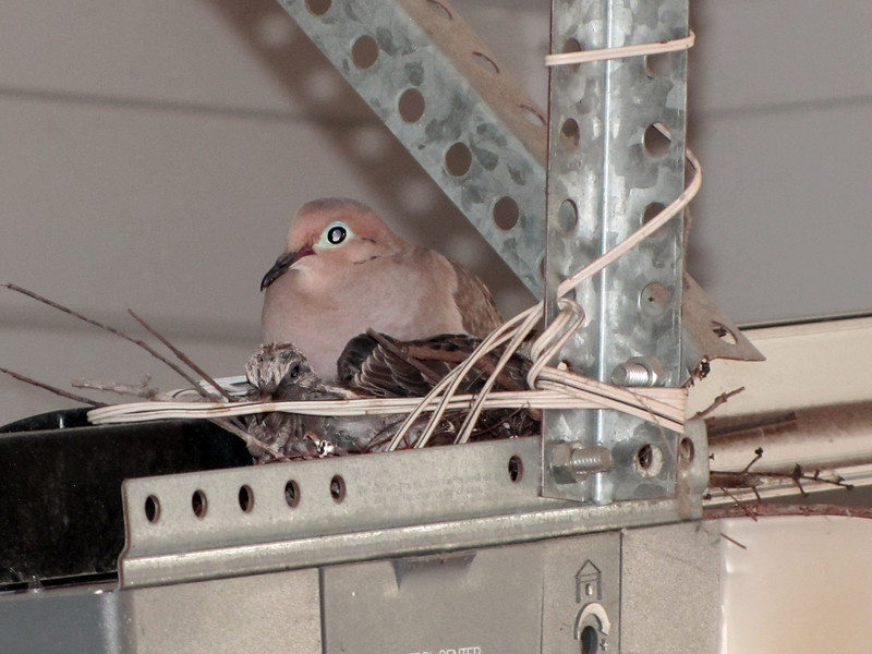 14 May, 2:00 PM. Mother mourning dove and squabs nested on the door opener in our garage. Plenty of noise when we open or shut the garage door, plus the light goes on beneath them
