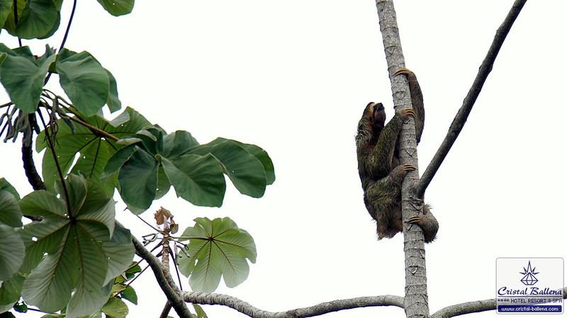 Nature-Sloth-DSC03436a_0600px-wm.jpg