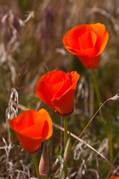 Calfornia Golden Poppy Reserve - Antelope Valley