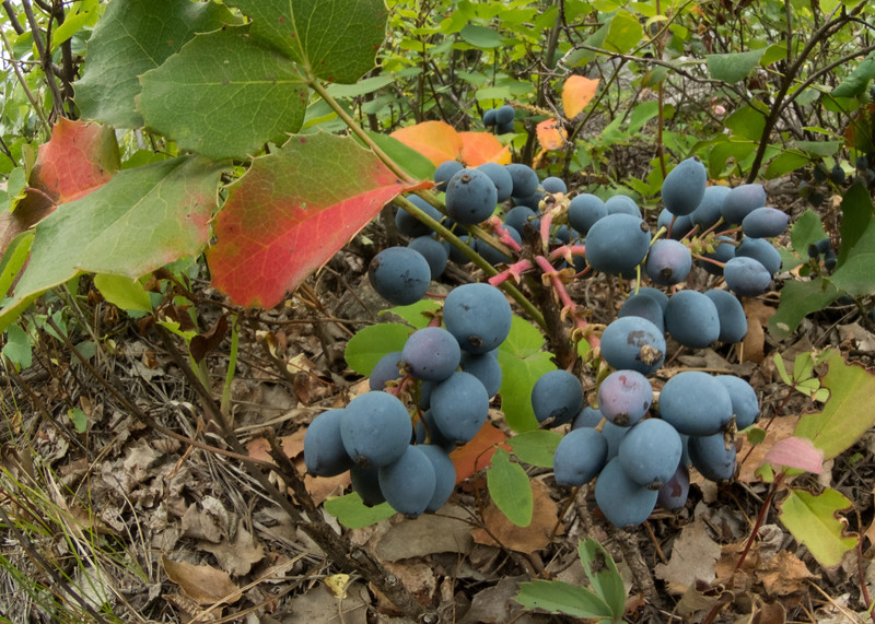 #27 Oregon Grape