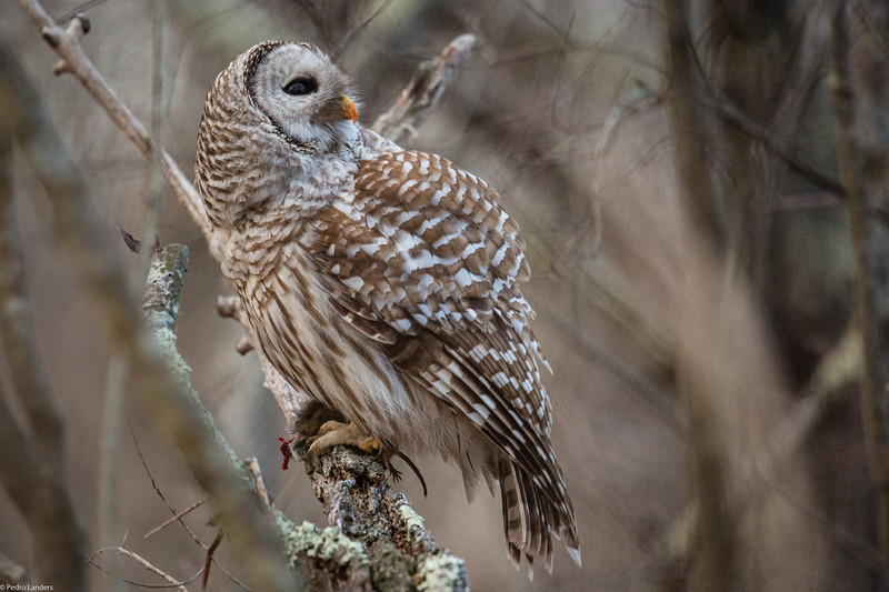 Barred Owl at Breakfast